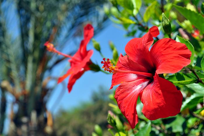 Hibiscus, Marrakech