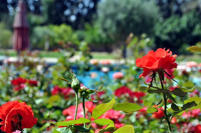 Roses du Maroc, Marrakech