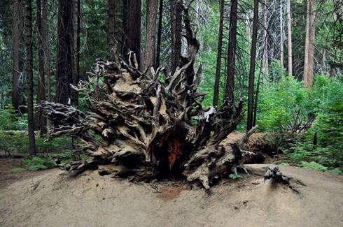 Yosemite California Tree